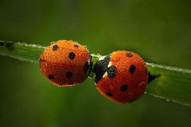 2 lady bugs