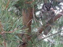 Tengmalm's Owl_800x600